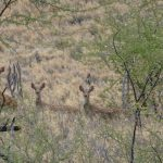 2021 Lāna'i Axis Deer Hunting Season Canceled Due to COVID-19