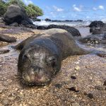 Death of Hawaiian Monk Seal on Kaua'i Under Investigation