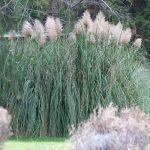 Pampas Grass Eradicated from Hawai'i Island, BIISC Reports
