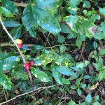 Coffee Leaf Rust 'Emergency' Prompts Request For New Fungicide, Threatens Organic Farming