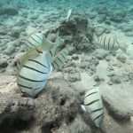 DLNR to Host Virtual Meetings on Herbivore Management, Coral Reef Protection