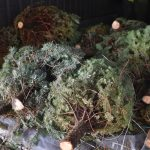 County Offers Free Christmas Tree-Cycling Services