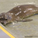 Marine Mammal Center Takes in Malnourished Hawaiian Monk Seal