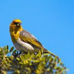 Palila Habitat Protection Planned