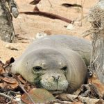 Fishing Nets Likely Caused Monk Seal Drownings Off Kaua'i, NOAA Says