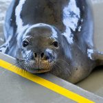 2 Hawaiian Monk Seals Released to Wild After 2 Months at Ke Kai Ola