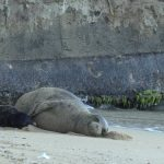 Officials Advise of Dangers Swimming Near Hawaiian Monk Seal and Pup