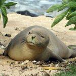 Hawaiian Monk Seal Mele Found Dead on O'ahu