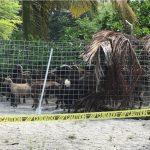 Over 400 Feral Goats Removed from Pu'uhonua o Hōnaunau National Historical Park